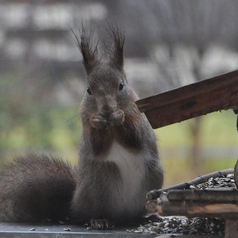 A-Hörnchen