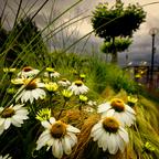 Blumen an der Donaulände
