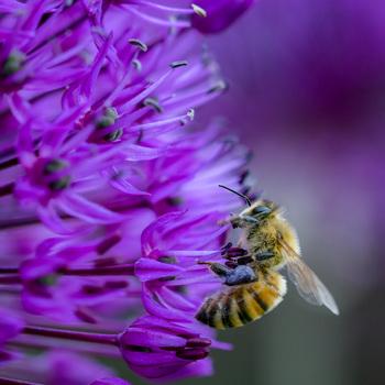 Biene auf Schnittlauchblüte
