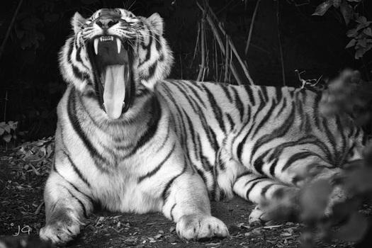 Tiger SW