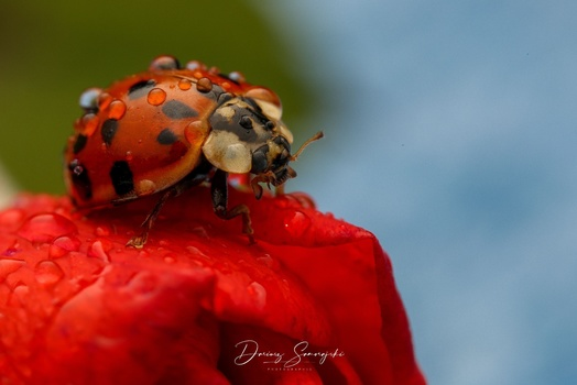 Ladybug on a rose flower