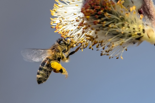 Biene im Frühlingsrausch