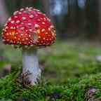 Der Fliegenpilz ist wohl einer der schönsten Pilze.