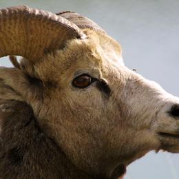 Bighorn Sheep Kanada