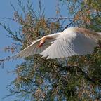 Kuhreiher (Bubulcus ibis)