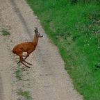 """""""Bambi"""" unterwegs"""