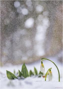 Schneesturm im Frühling