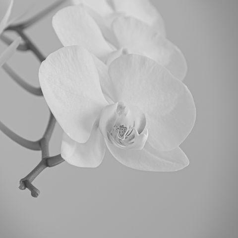 Orchidee#1