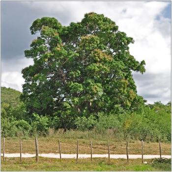 Kuba, Valle de los Ingenios, blühender Mangobaum