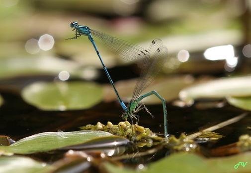 Libellen, Bot.Garten Sbg
