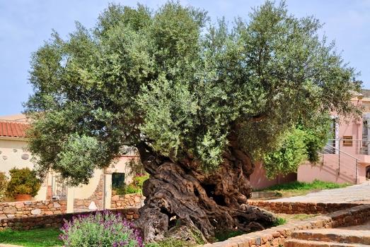 3000 - 5000 Jahre alter Olivenbaum - Vouves / Kreta