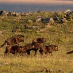 Gnu Herde in der Morgensonne