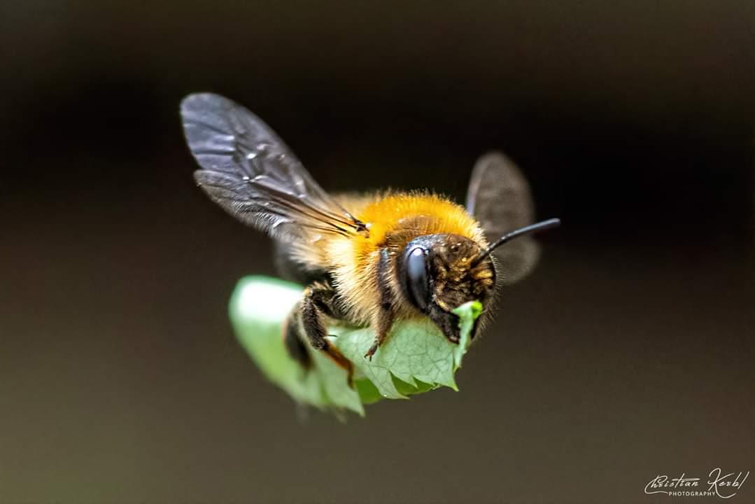Blattschneidebiene