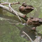 Zwei Ente-Zwei Füße