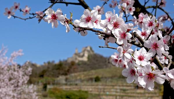 Mandelblüte in der Wachau