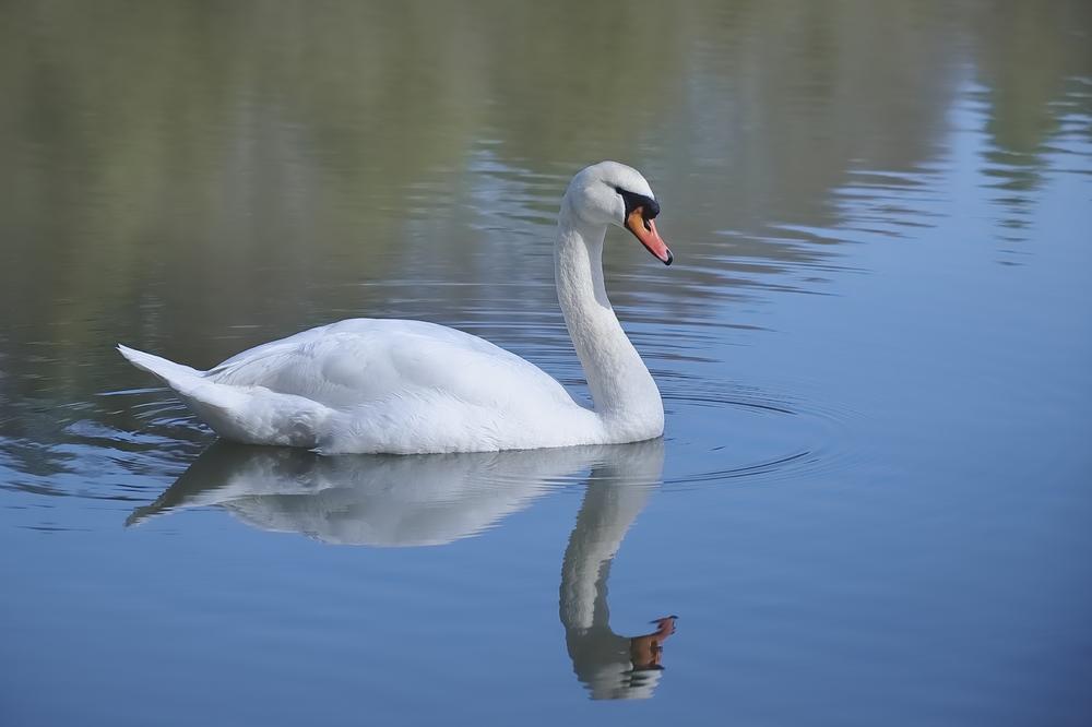 schwan