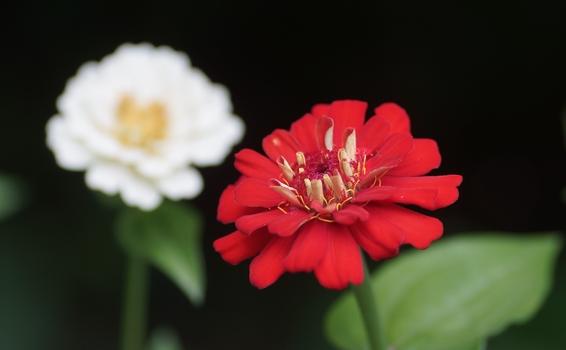 Zinnie / rot vor weiß