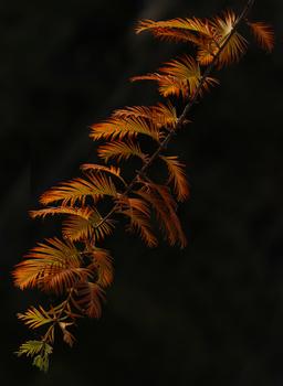 Urwelt- Mammutbaum- Detail