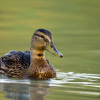 Nur eine Ente....