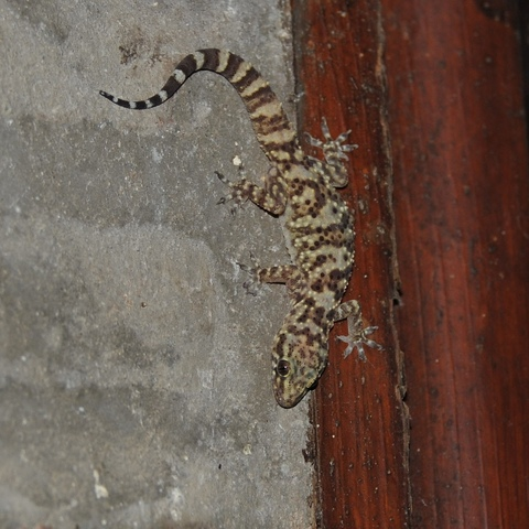 Minigecko