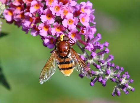 Volucella zonaria , Hornissenschwebfliege oder Große Waldschwebfliege oder Riesen-Hummelschwebfliege