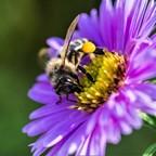Biene mit gelbem Pollenhöschen