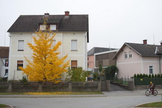 Herbst 5 Ginkobaum
