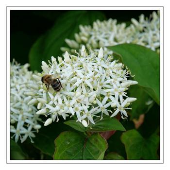 Biene am Strauch