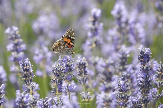 Distelfalter im Lavendelfeld