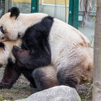 Pandabären bei der Paarung
