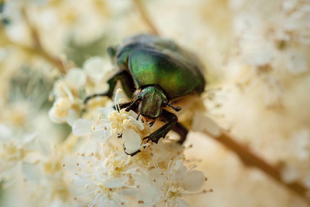 Käfer Makro