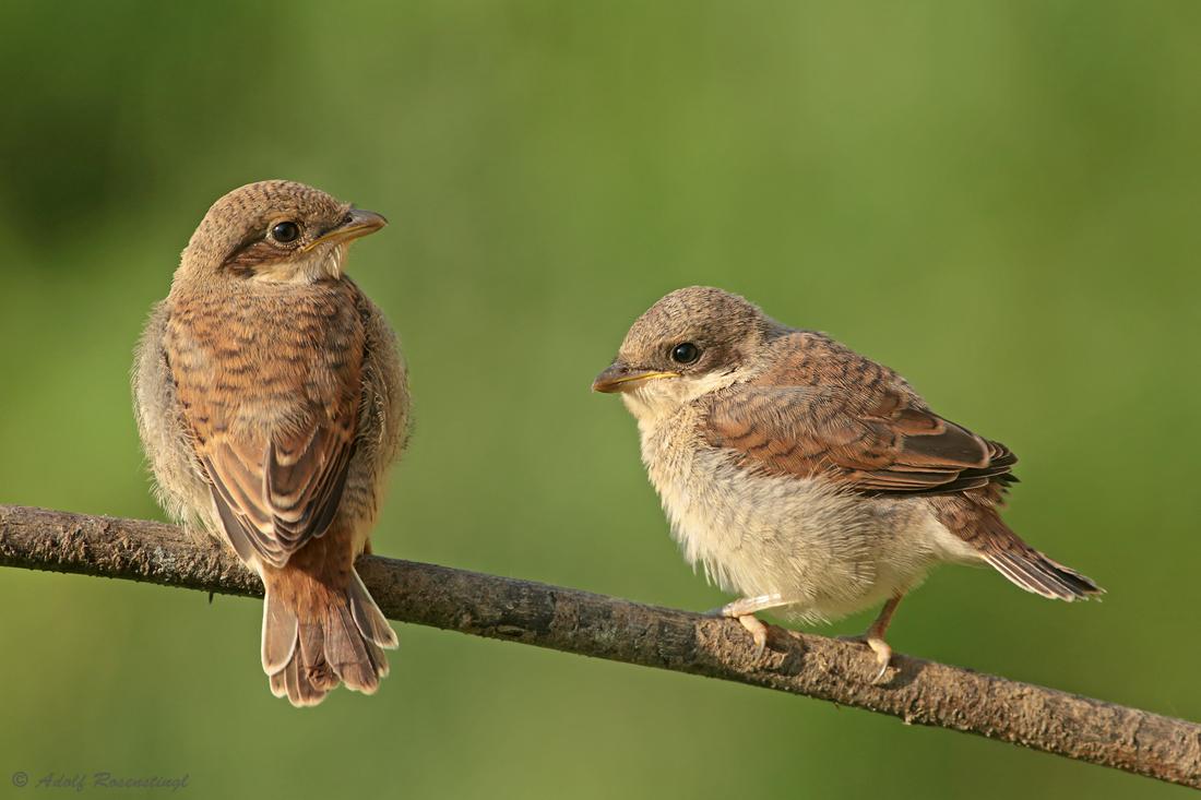 Neuntöter (Lanius collurio) oder Rotrückenwürger Jungvögel