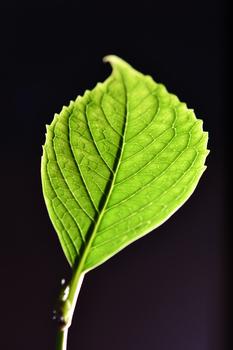 Hortensienblatt