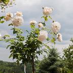Duft der Rosen