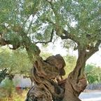 2000 Jahre alter Olivenbaum   Exo Chora - Zakynthos