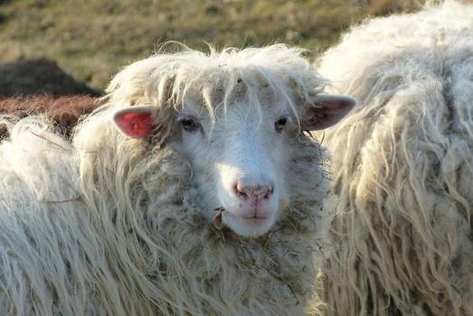Schaf!