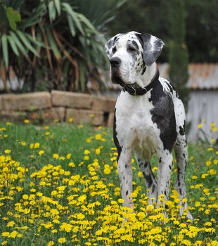 Mephisto in der toskanischen Blumenwiese