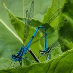 Blaue-Hufeisen-Libelle