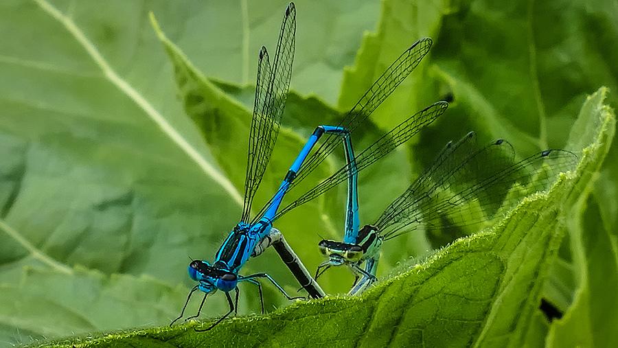 Azur Hufeisen Libelle