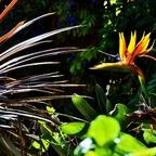 Papageienblume (Strelitzia reginae) / Kreta