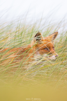 Hide and Seek - Rotfuchs im hohen Gras