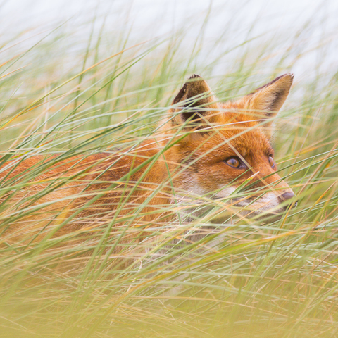 Hide and Seek - Rotfuchs im hohen Gras