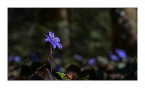 Waldschönheit