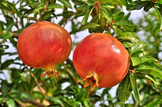 Granatapfel - Baum