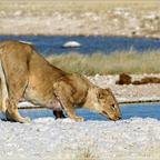 durstige Löwin