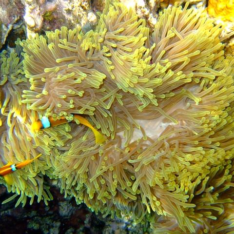 Anemonenfische mit prächtiger Anemone