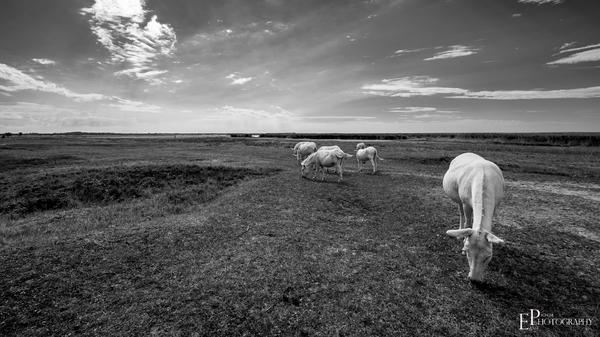White Donkeys