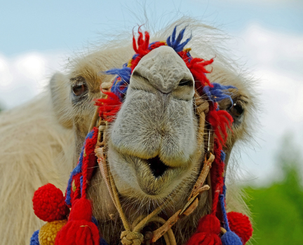 Ein seltsames Kamel