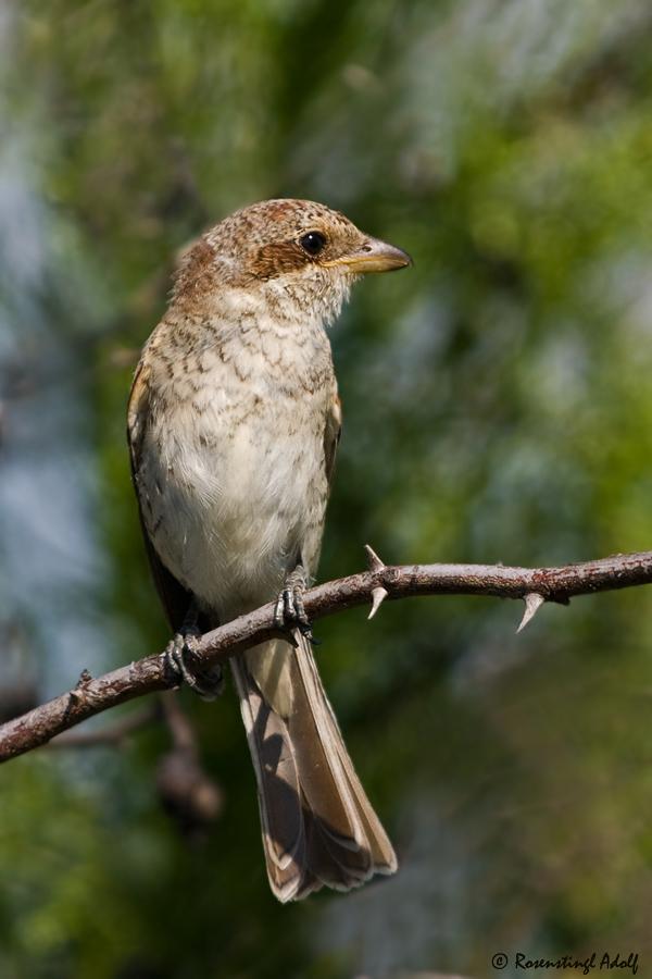 Neuntöter - Jungvogel (w)