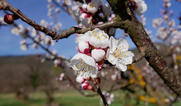 Frühlingsgrüsse  aus der Wachau
